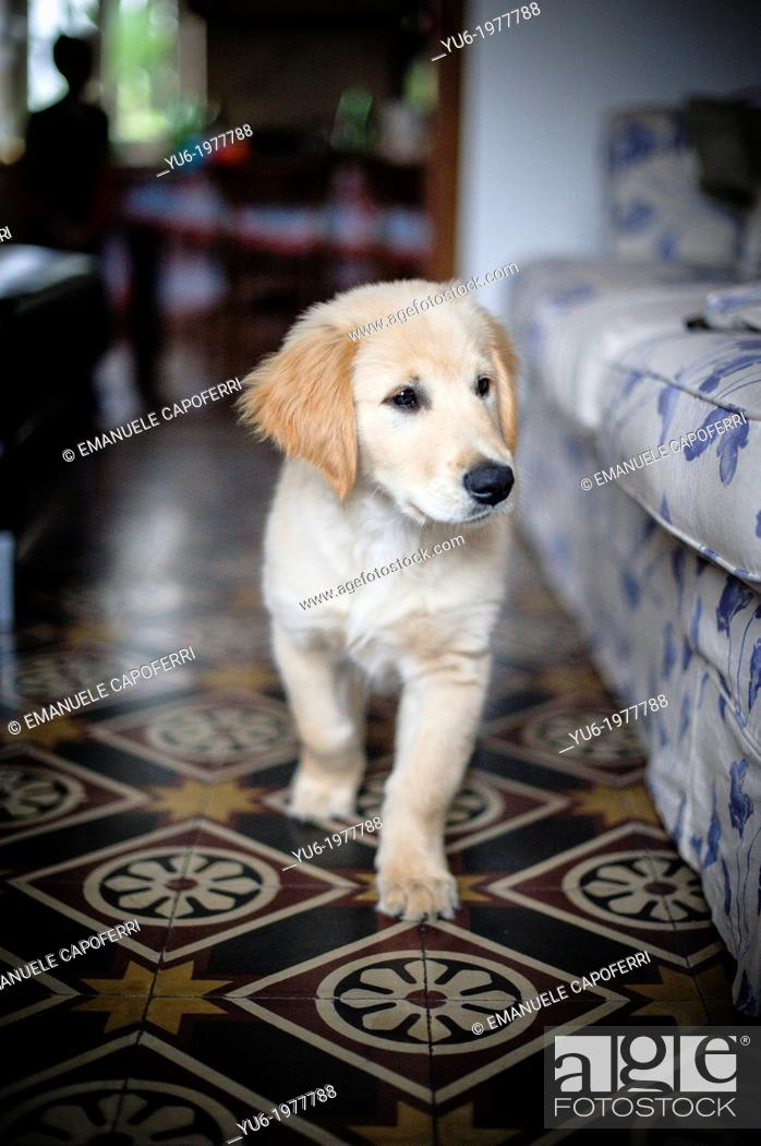 Stock Photo: Golden Retriever puppy walking in the living room.