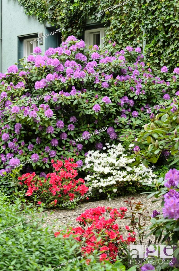 Stock Photo: Rhododendrons Rhododendron.