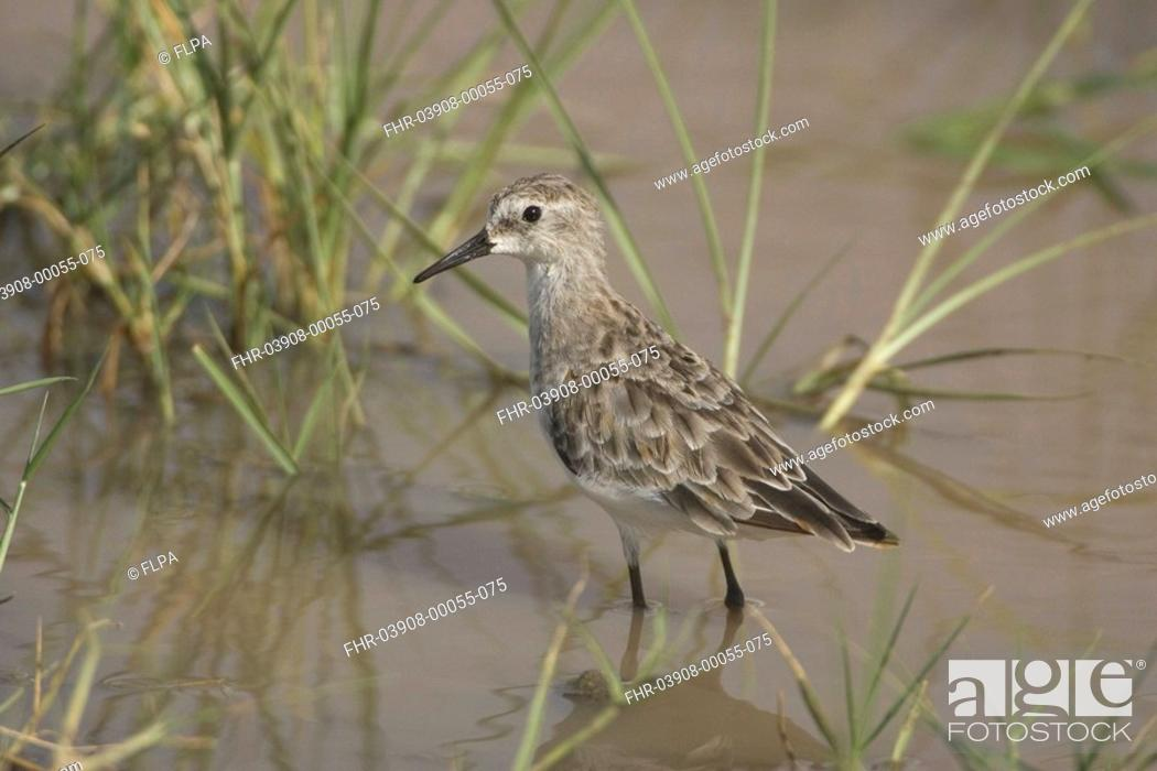 Stock Photo: Little Stint Calidris minuta Lake Manyara, Tanzania,.