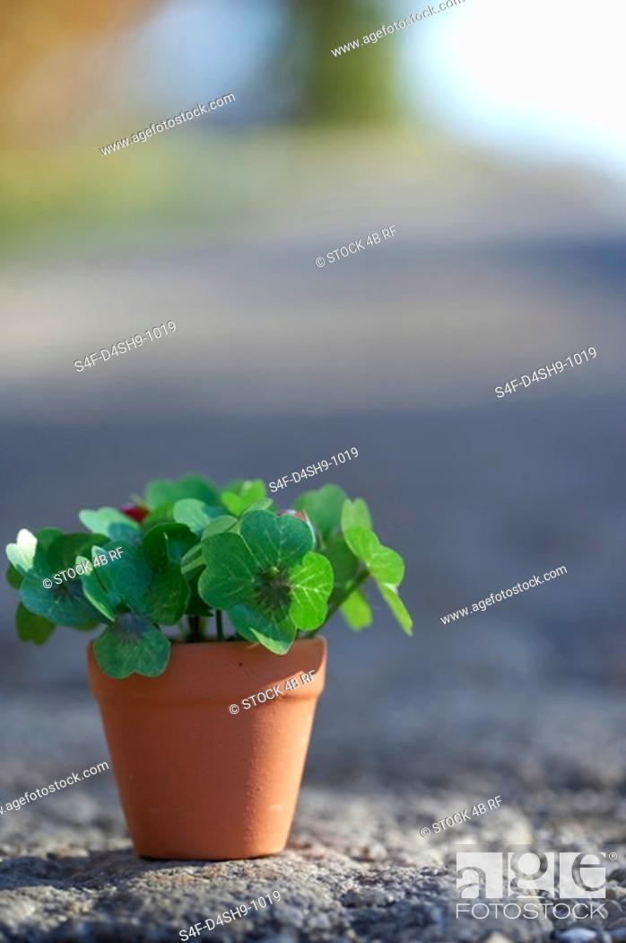 Stock Photo: Flower pot with clover, close-up, selective focus.