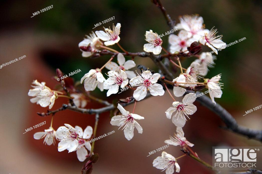 Stock Photo: Plum tree blossoms.
