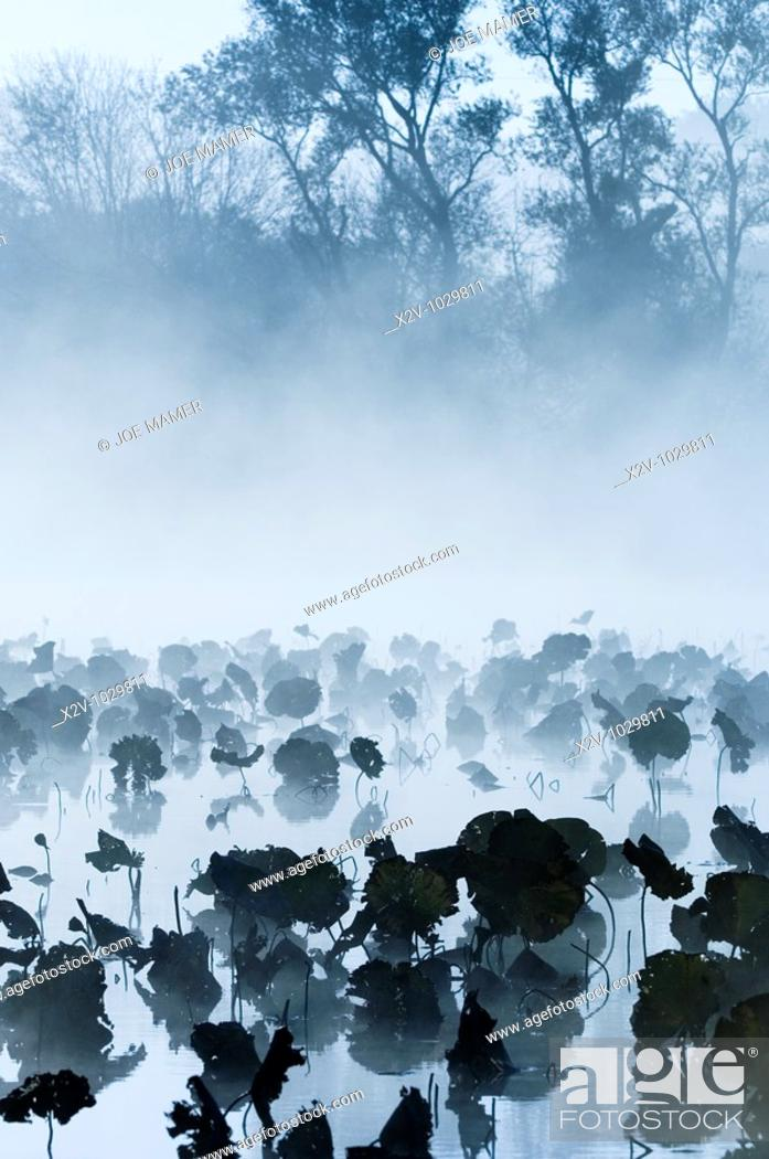 Stock Photo: Lily pads in water on foggy morning in Burnsville, Minnesota, USA.