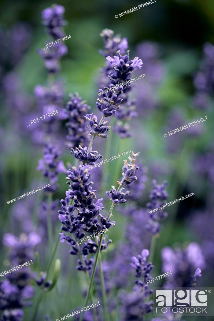 Stock Photo: Fresh lavender growing in garden.