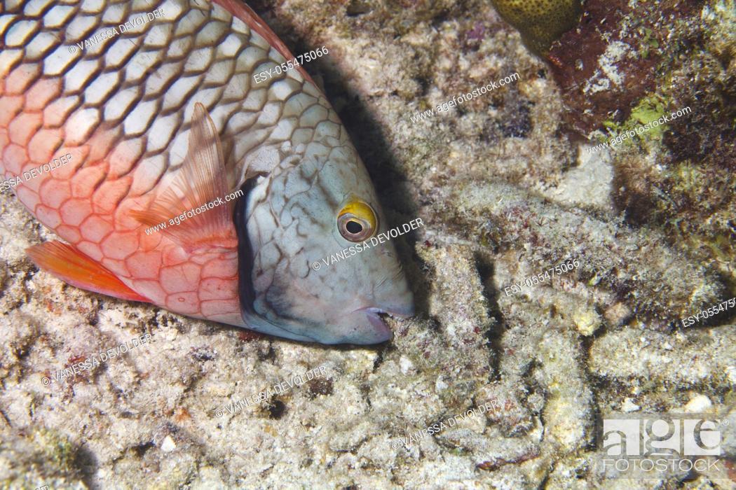 Stock Photo: Parrotfish in the Caribbean Sea around Bonaire.