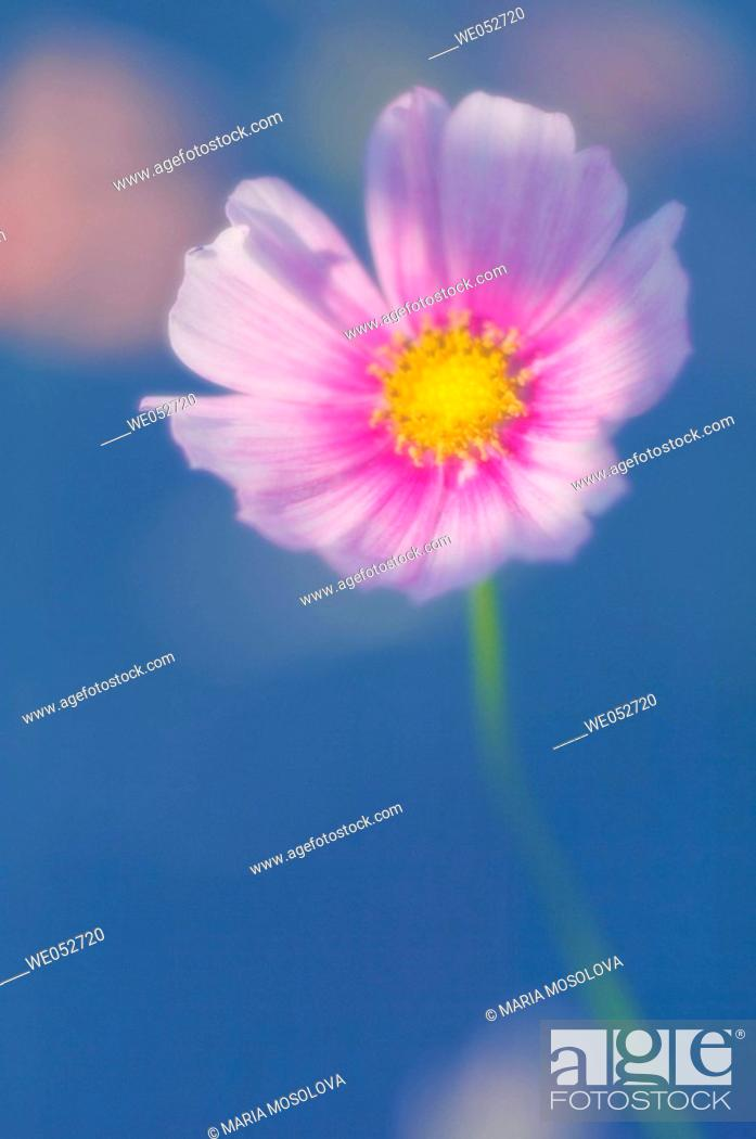 Stock Photo: Cosmos flower. Cosmos bipinnatus. June 2006. Maryland, USA.