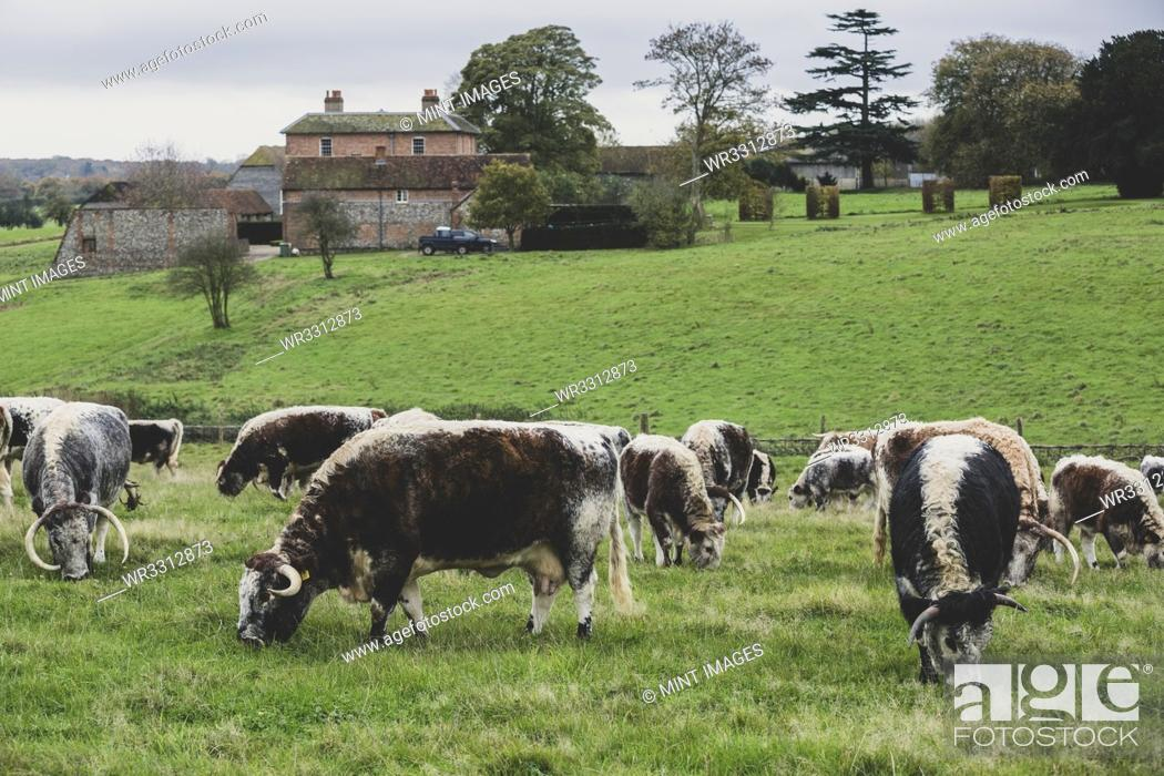 Stock Photo: Herd of English Longhorn cows grazing on a pasture.