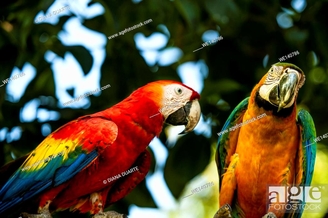 Stock Photo: 'Scarlet macaw' (Ara macao), They tend to be very intelligent and are even capable of mimicking human language. Corcovado National Park, Costa Rica.