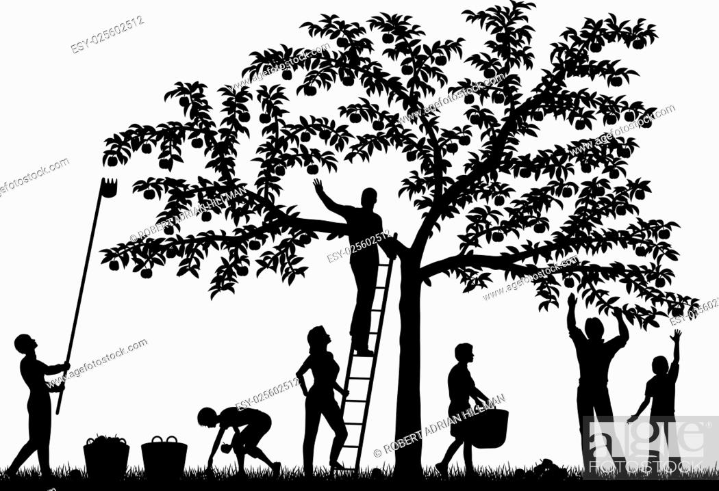 Stock Vector: Editable vector silhouettes of a family harvesting apples from a tree with people and fruit as separate objects.