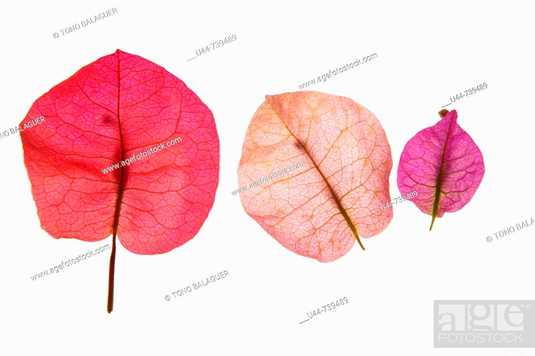 Stock Photo: Pink color petal of Bouganvillea flower transparency.