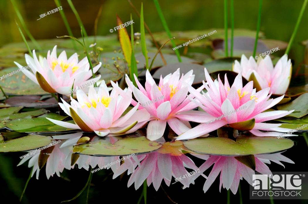 Stock Photo: Pinky white water lilies (Nymphaea sp.) with reflection in the water, North Rhine-Westphalia, Germany.