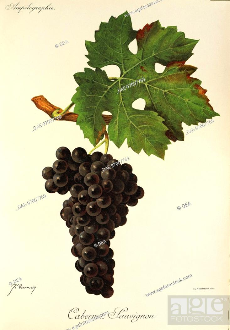 Stock Photo: Pierre Viala (1859-1936), Victor Vermorel (1848-1927), Traite General de Viticulture. Ampelographie, 1901-1910. Tome II, plate: Cabernet Sauvignon grape.