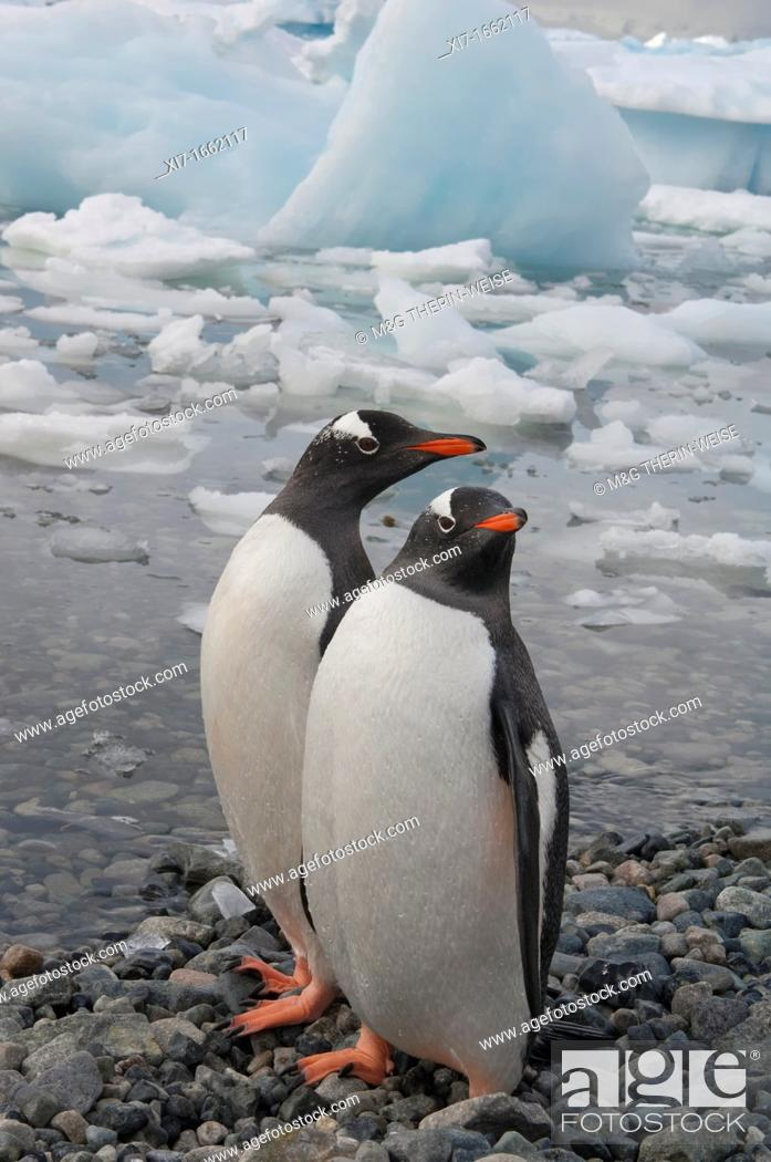 Imagen: Gentoo Penguins Pygoscelis papua on the beach, Cuverville Island, Antarctic Peninsula.