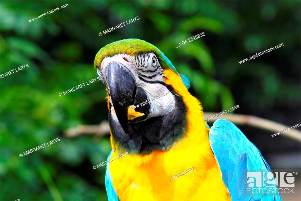 Stock Photo: Blue and gold macaw / Ara Ararauna eating lunch in the bird's centre near Cambernauld, Scotland.
