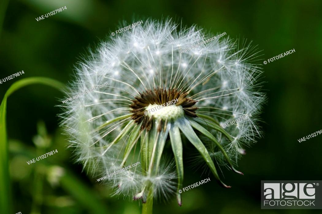 Stock Photo: wiesenblume, saeublume, adligenswil, blur, blurred, dandelion, flower.