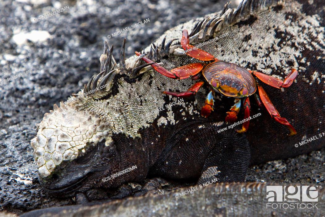 The endemic Galapagos marine iguana Amblyrhynchus cristatus with ...