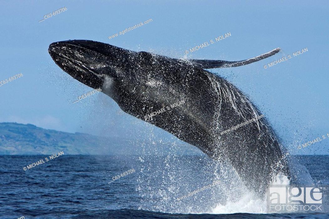 Stock Photo: Adult humpback whale (Megaptera novaeangliae) breaching in the AuAu Channel between the islands of Maui and Lanai, Hawaii, USA.