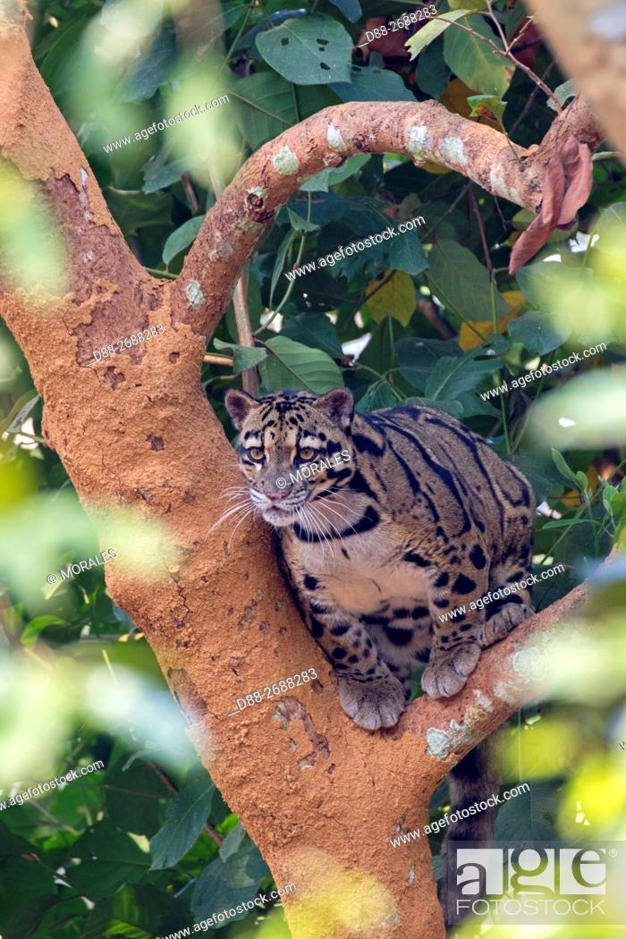 Stock Photo: South east Asia, India, Tripura state, Clouded leopard (Neofelis nebulosa).