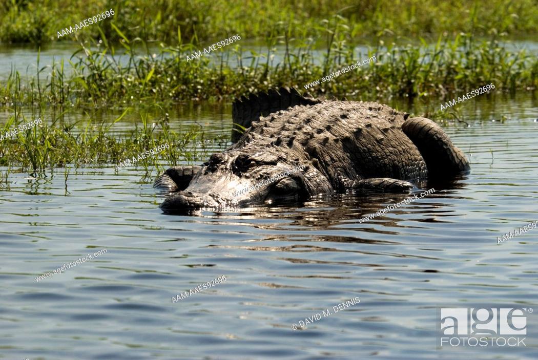 Stock Photo: Large American Alligator (Alligator mississippensis) Myakka River State Park, Sarasota Co., FL,.