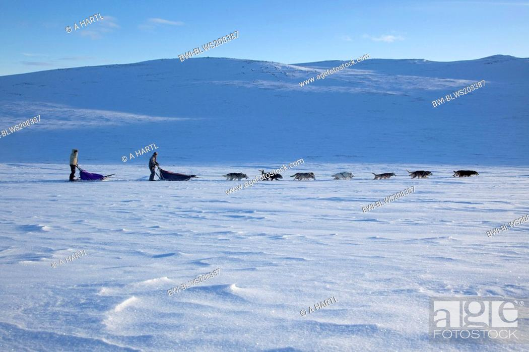 Stock Photo: domestic dog Canis lupus f. familiaris, dog sled with 14 dogs in snow landscape, Norway, Dovrefjell Sunndalsfjella National Park.