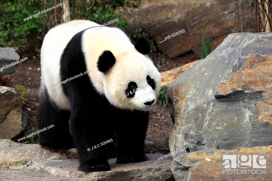 Stock Photo: Giant Panda,Ailuropoda melanoleuca,Adelaide Zoo,South Austalia,Australia,adult.
