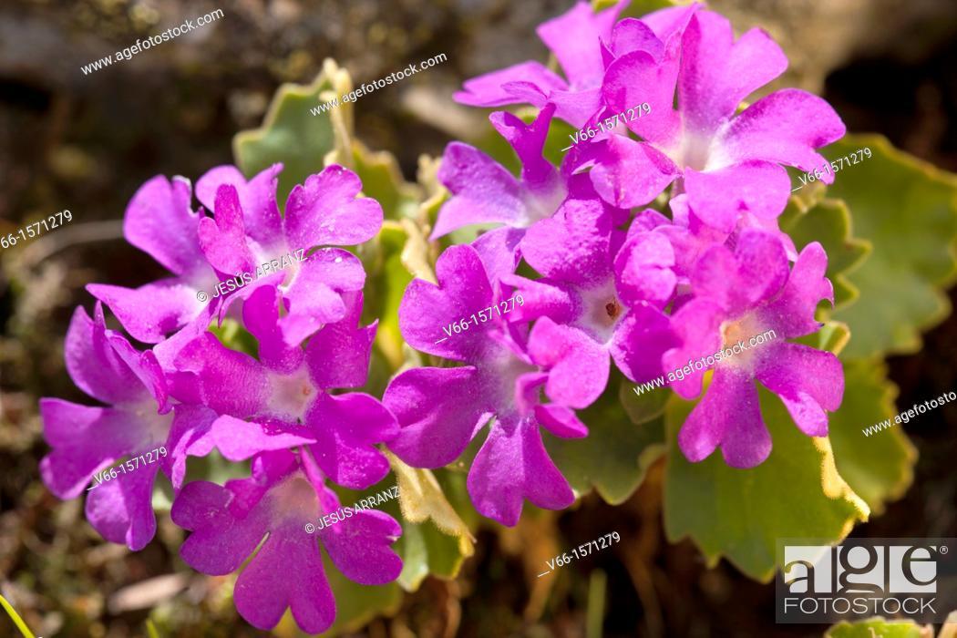 Imagen: Primula hirsuta villosa.