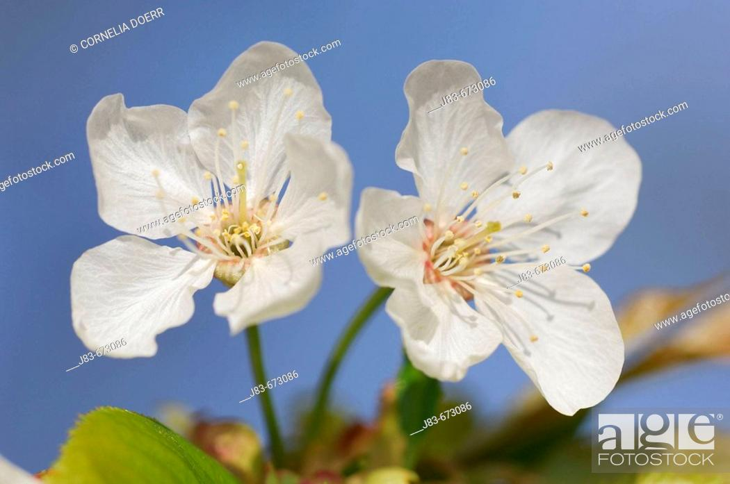 Stock Photo: Cherry Tree blossoms, Gera, Thueringen, Germany.