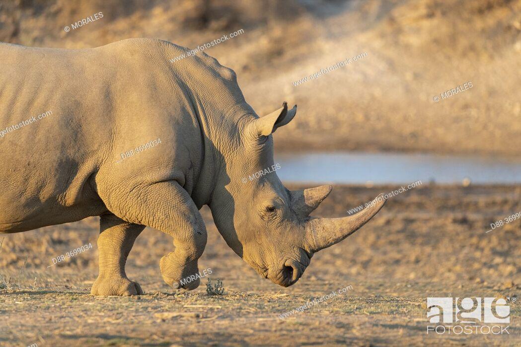 Photo de stock: Africa, Namibia, Private reserve, White rhinoceros or square-lipped rhinoceros (Ceratotherium simum) , Adult, captive.