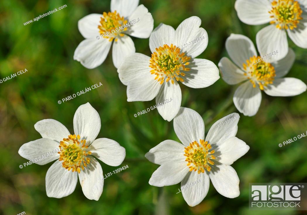 Stock Photo: Anemone narcissiflora.