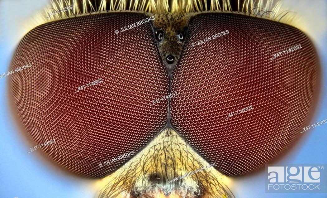 Stock Photo: extreme close up of the eyes of the syrphid or hoverfly Eupeodes corollae.