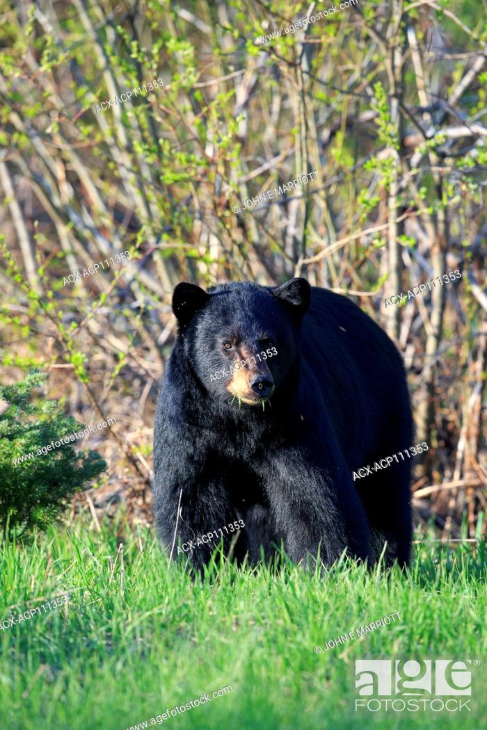 Stock Photo: Black bear, ursus americanus, British Columbia, Canada.