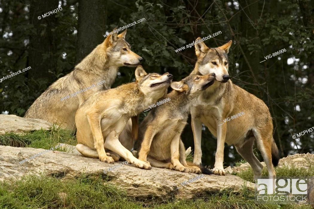 Wolf Germany timberwolf canis lupus occidentalis mackenzie valley wolf