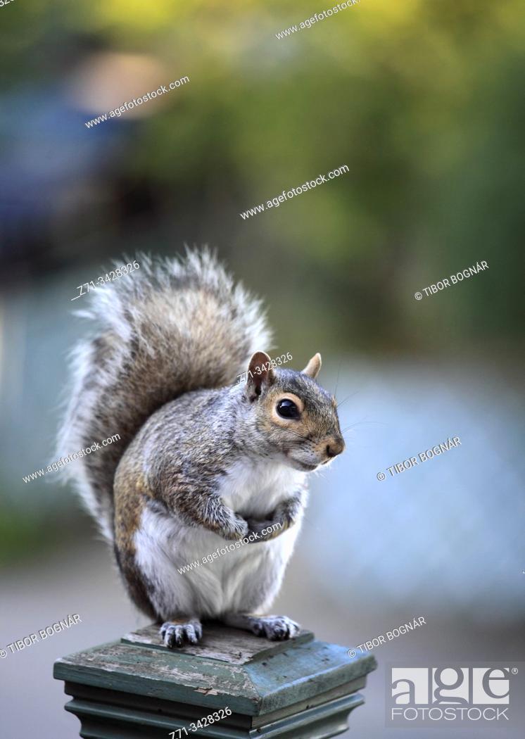 Stock Photo: Eastern gray squirrel, sciurius carolinensis.