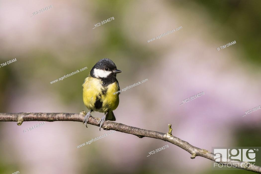 Stock Photo: A Great Tit (Parus major) in the Uk.