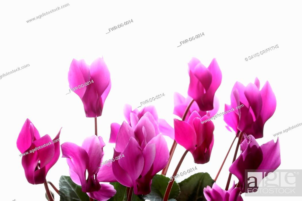Imagen: Cyclamen, Studio shot of several pink flower heads on stems.