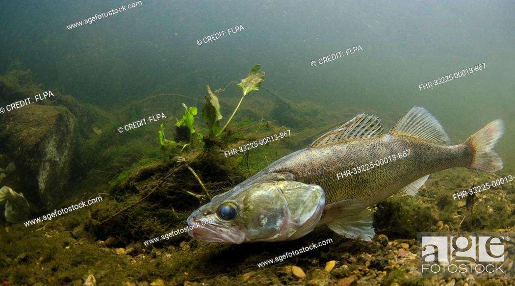 Stock Photo: Zander (Sander lucioperca) introduced species, adult, swimming in river, River Trent, Stoke-on-Trent, Staffordshire, England, August.
