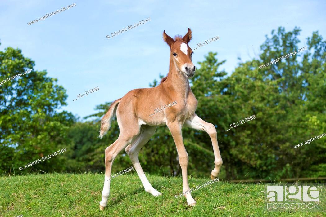 Stock Photo: Missouri Foxtrotter. Foal trotting on a pasture. Germany.