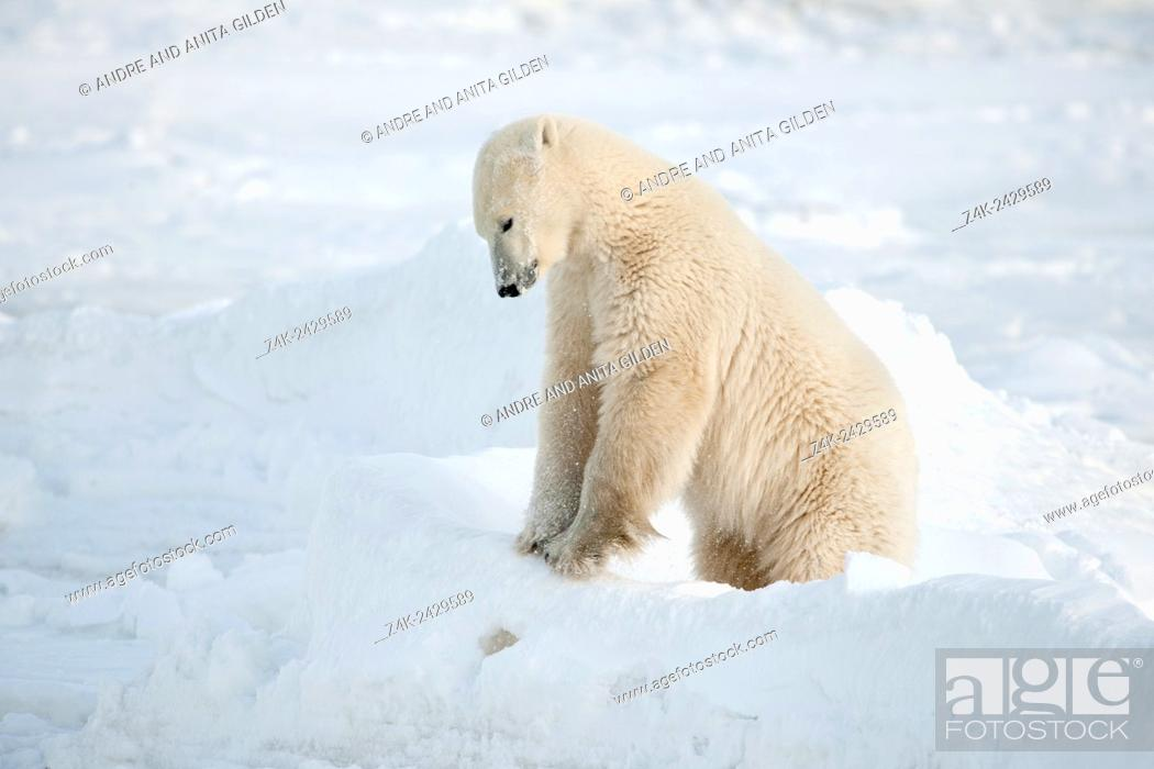 Stock Photo: Polar bear (Ursus maritimus) playing in snow on ice floe, Churchill, Hudson bay, Manitoba, Canada.