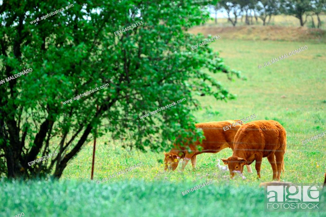 Stock Photo: Cattle grazing in the field.
