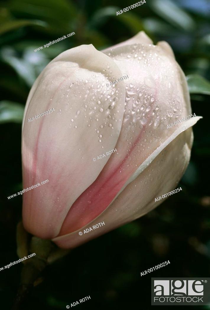Stock Photo: Magnolia soulangeana - white - purple veins - elegant in morning dew.