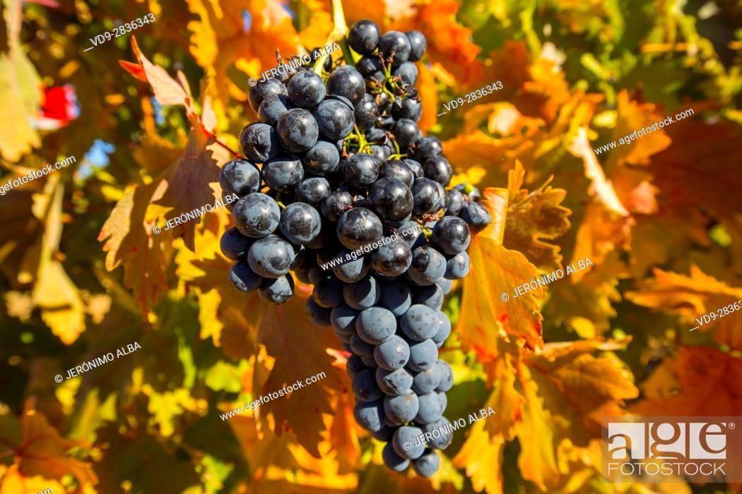 Imagen: Vineyards in Aranda de Duero, Rivera del Duero wines district. Valladolid Castilla Leon, Spain Europe.
