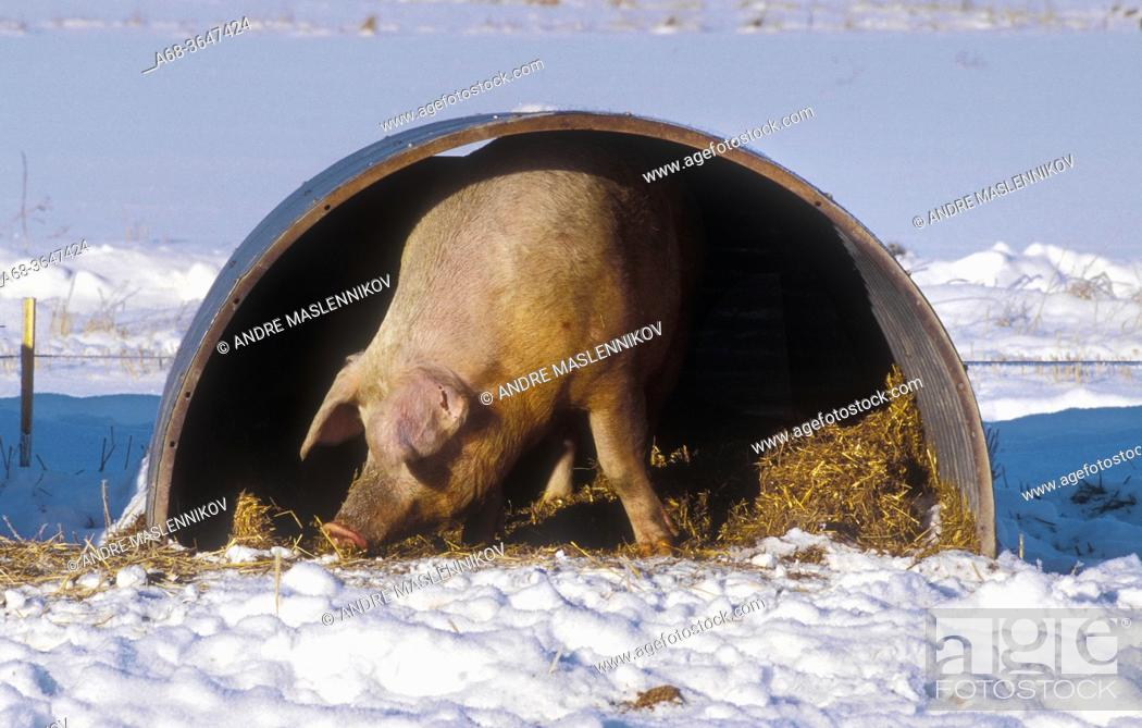 Stock Photo: Organic pigs can stay outdoors even in winter. They can have a hut with straw to crawl into, if it gets too cold. Uppland County. Sweden.