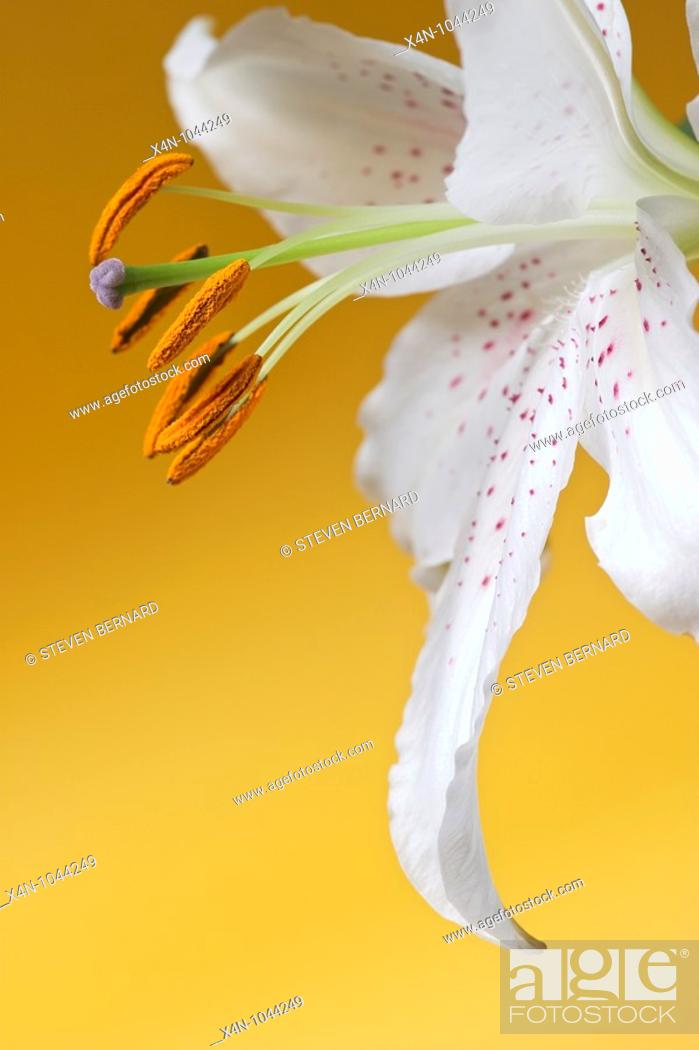 Stock Photo: Casa Blanca Lily against yellow background.