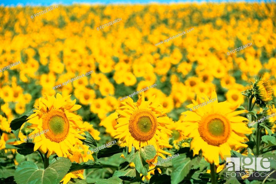 Stock Photo: Field Of Sunflower.