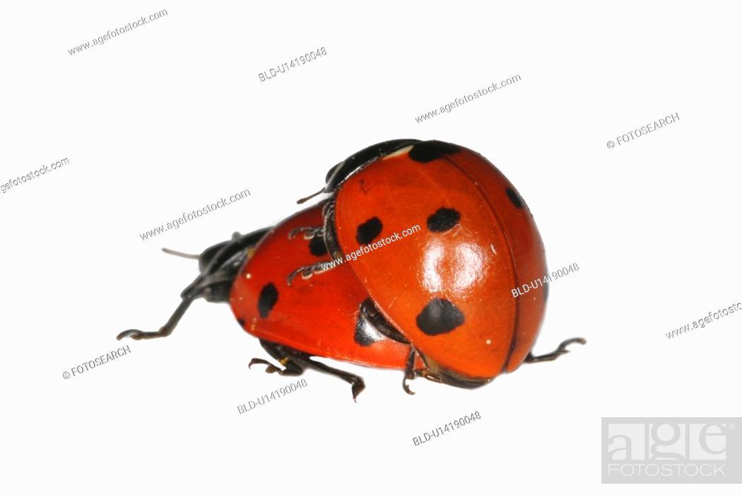 Stock Photo: Two ladybugs.