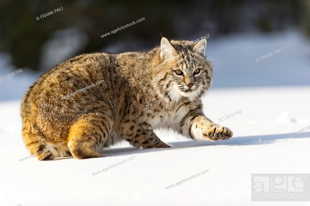 Stock Photo: Bobcat (Lynx rufus) Captive young individual in late winter mountain habitat, Bozeman, Montana, USA.