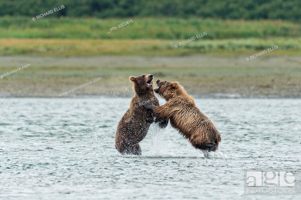 Stock Photo: Brown bear sub-adults play fight along the lower lagoon at the McNeil River State Game Sanctuary on the Kenai Peninsula, Alaska.