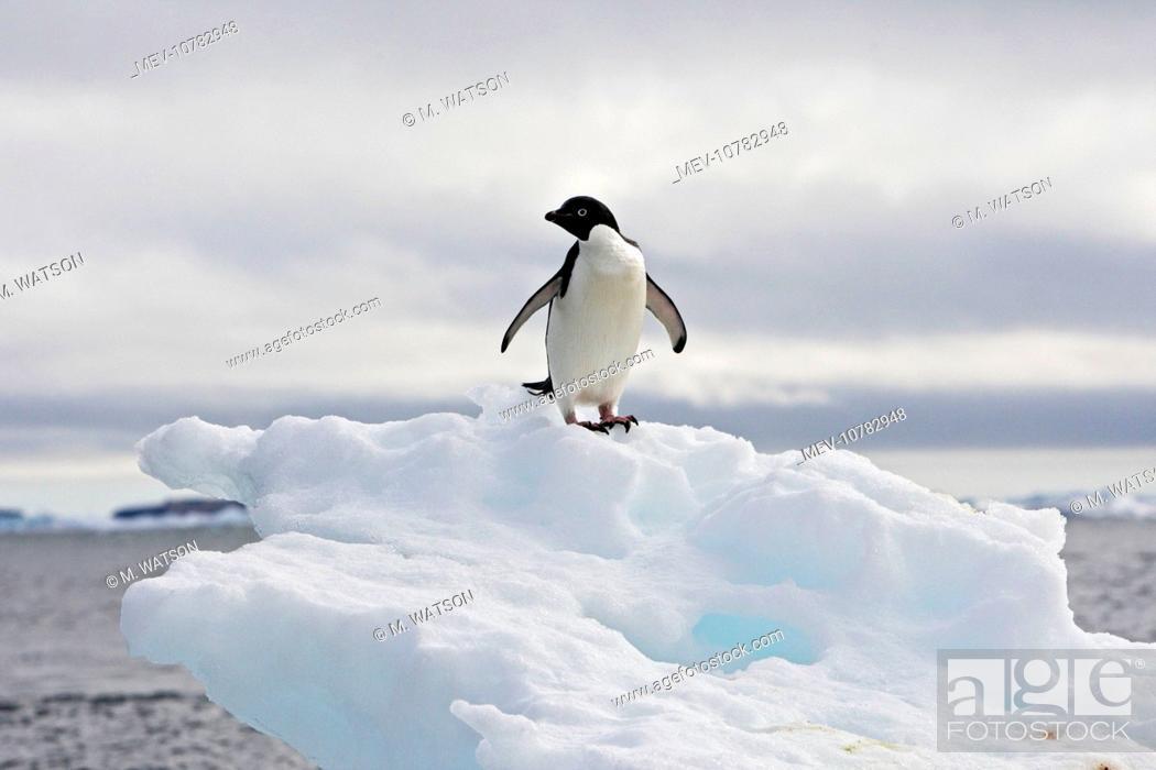 Imagen: Adelie Penguin - resting on iceberg. (Pygoscelis adeliae).