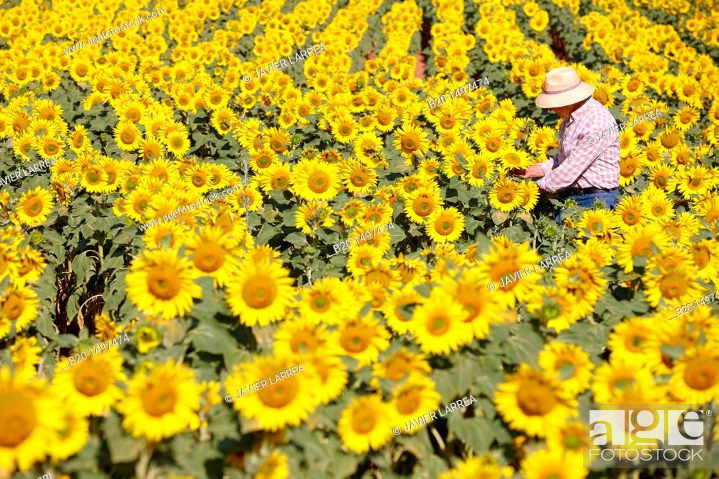 Stock Photo: Sunflowers field 'Learza' estate Near Estella, Navarre, Spain.