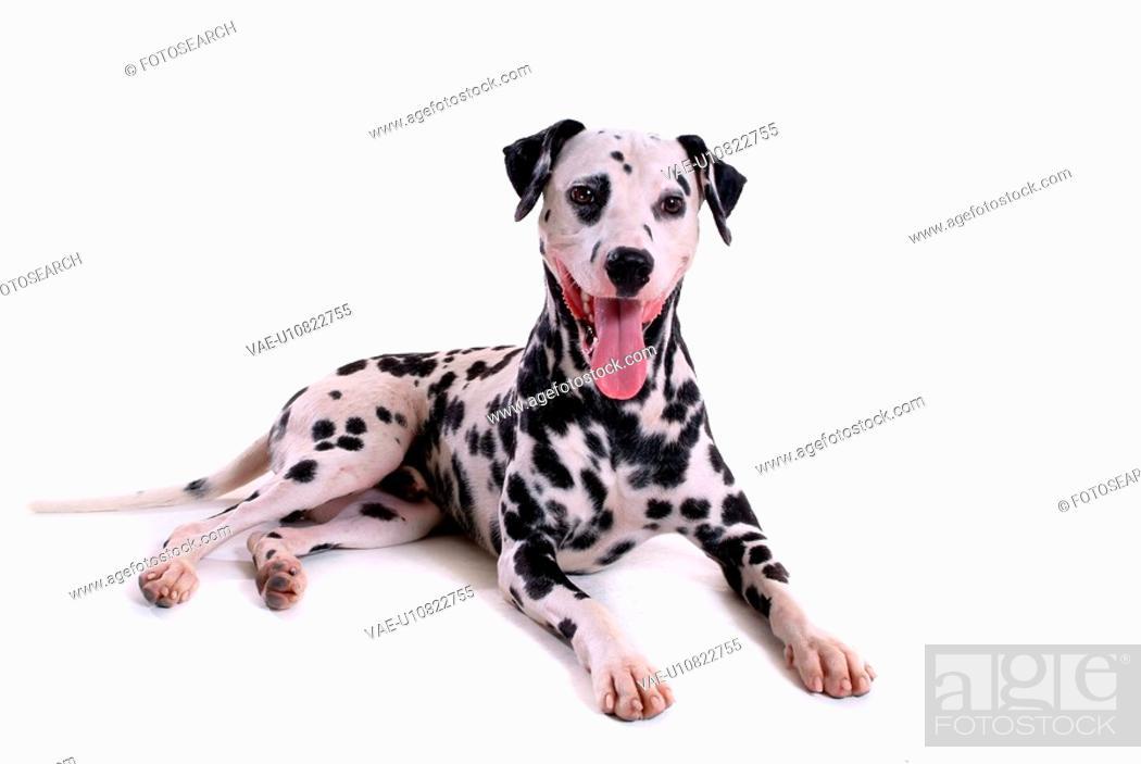 Stock Photo: cute, dalmatian, loving, canines, domestic, dalmation.