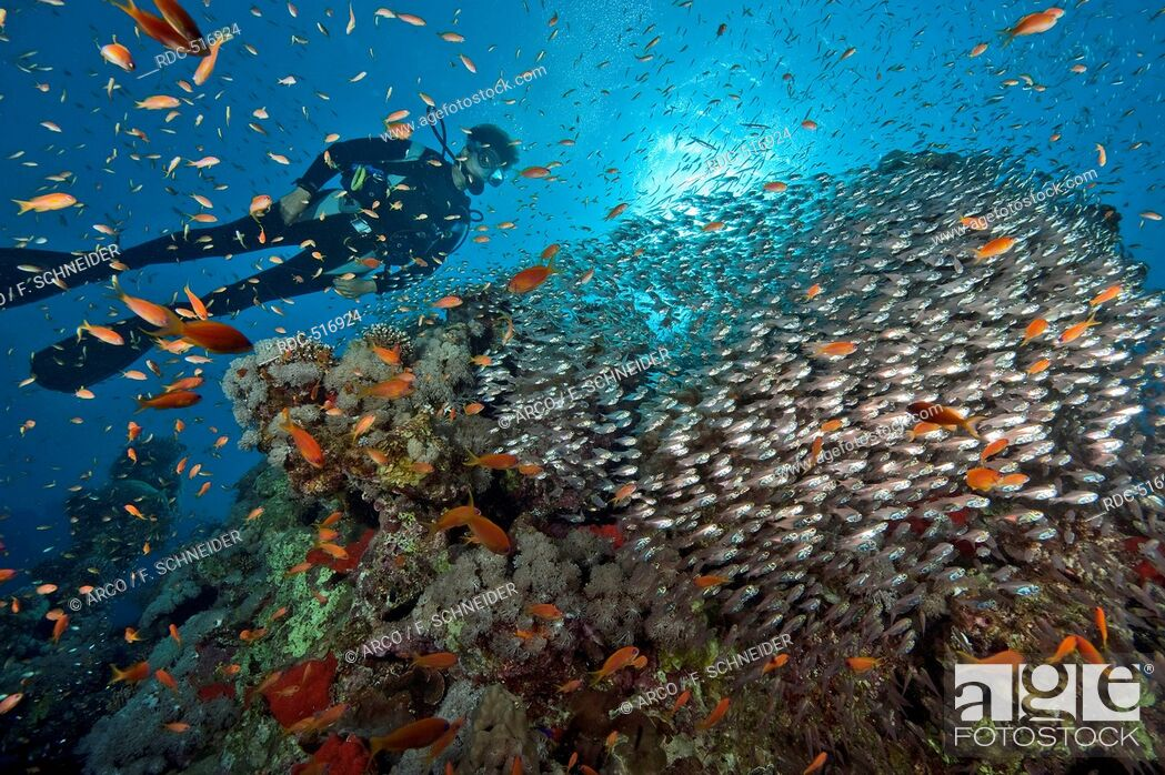 Stock Photo: diver and school of sweeper and Lyretail anthias, Red Sea / (Parapriacanthus guentheri) and (Pseudanthias squamipinnis).